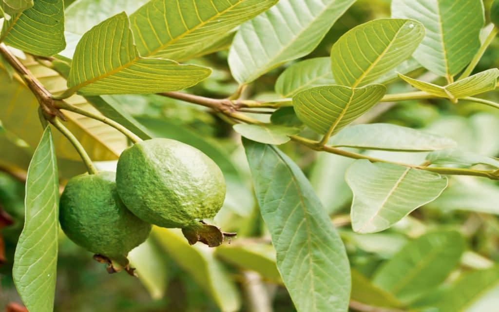 Incredible health benefits of guava leaf tea